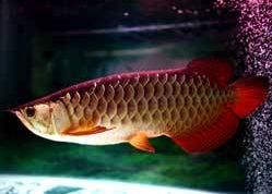 Jenis Ikan Ikan Arwana red tail golden
