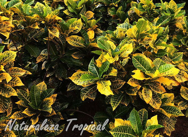 Imagen de la especie de croton, Codiaeum variegatum