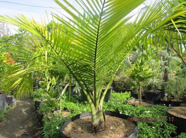 IMG_3176 Majesty Palm House Plant on majesty palm soil, majesty palm plant, majesty palm hedge, majesty palm fertilizer, majesty palm tree, majesty palm leaves, majesty palm flower, majesty palm family, majesty palm indoor,