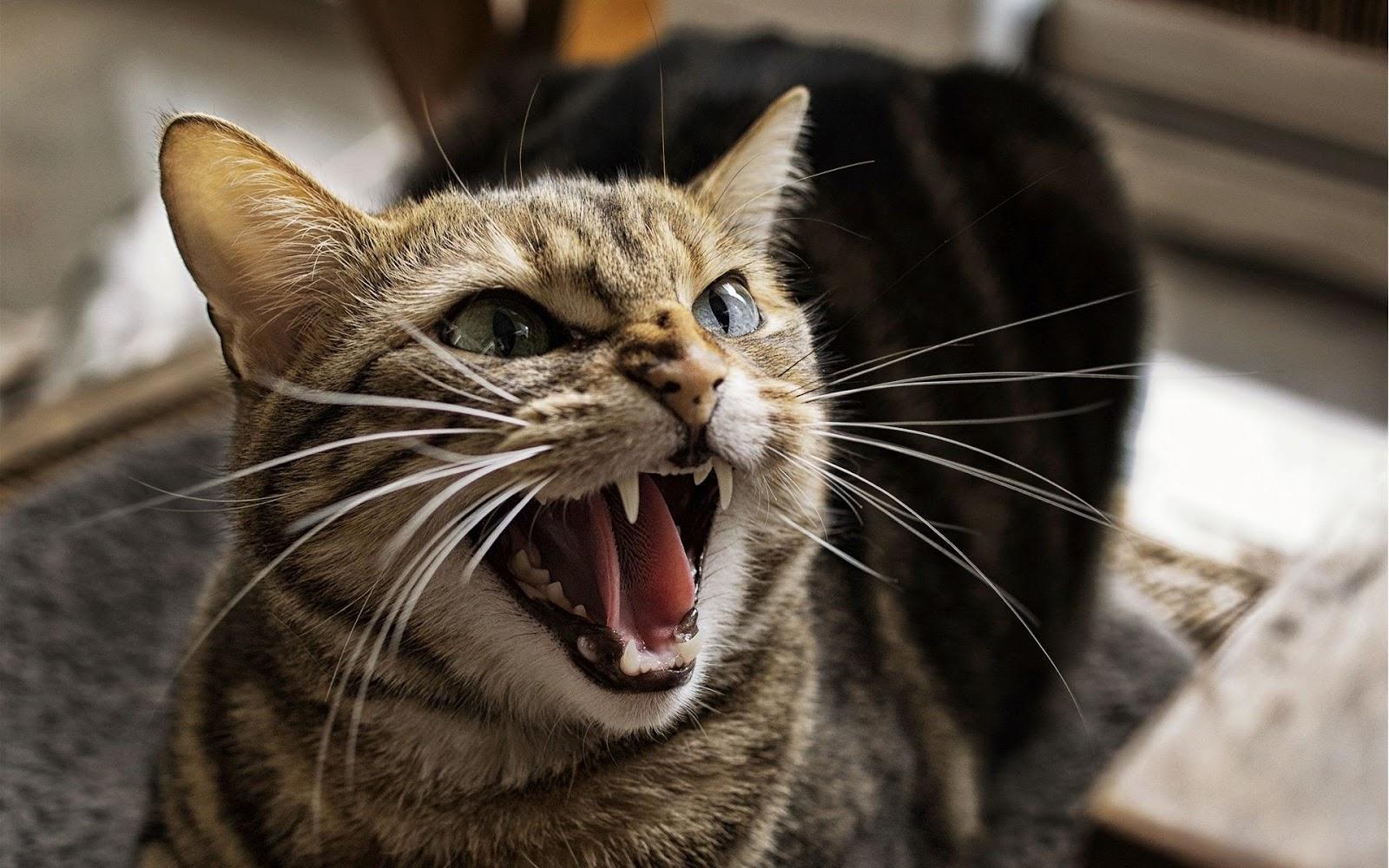 Hasil gambar untuk seruan kucing