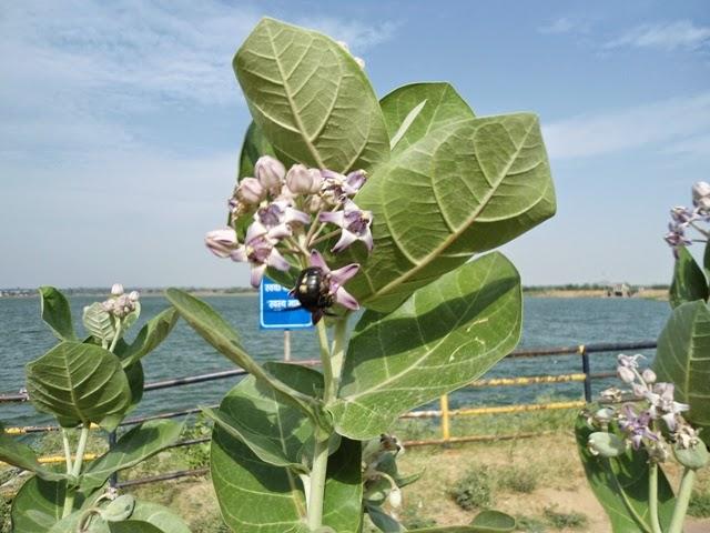 Puja' Flowers and other things used in 'puja' (Hindu Worship).: आक के फूल  (अर्क पुष्प) - (हिंदी ब्लॉग)