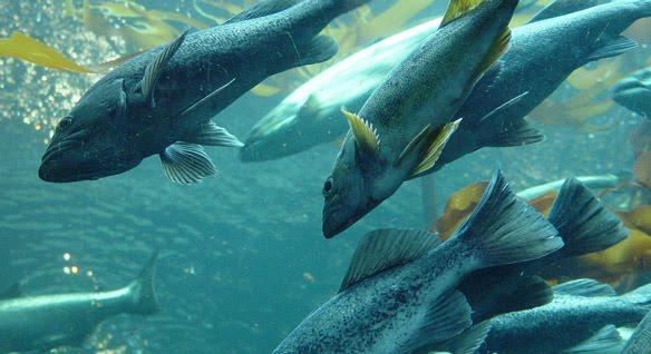 Siklus Hidup Ikan Salmon