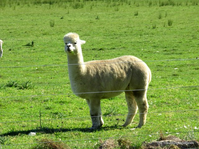 Murray to Mountains Rail Trail alpaca
