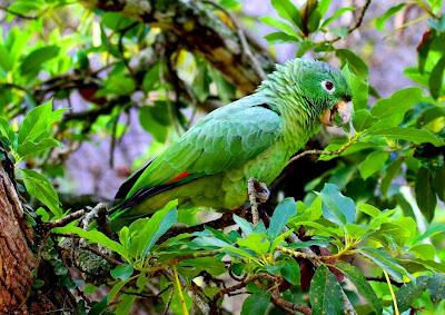 Amazona harinosa: Amazona farinosa