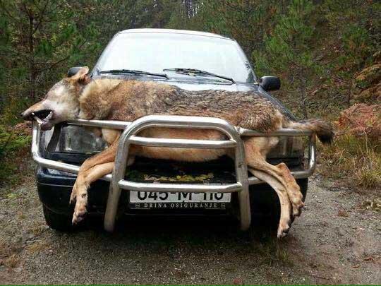 Θηρεύτηκε ο μεγαλύτερος λύκος των Βαλκανίων!
