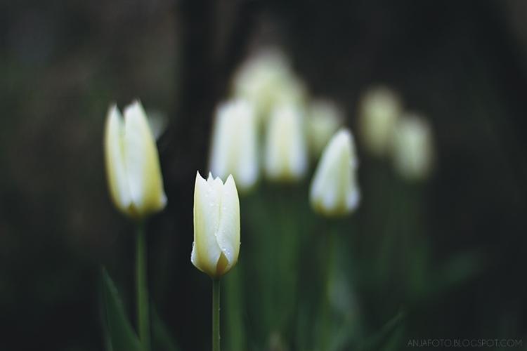 tulipan, tulipany, białe tulipany, wiosna 2017