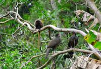 Macacos no Parque Estadual da Cantareira em São Paulo