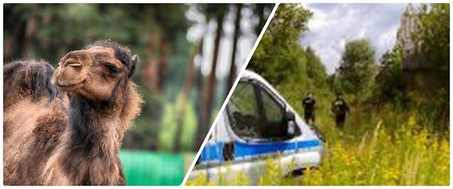 zdjęcie: Biłgoraj: Wielbłąd uciekł z cyrku