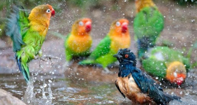 3 Khasiat Dan Manpaat Mandi Air Hujan Untuk Burung Lovebird Yang Sudah Terbukti