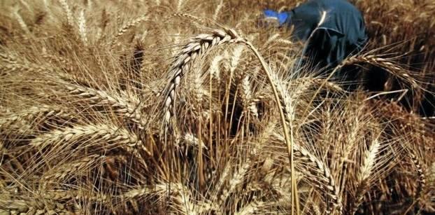 موافقة مجلس الوزارء على تحديد أسعار شراء القمح من المزارعين