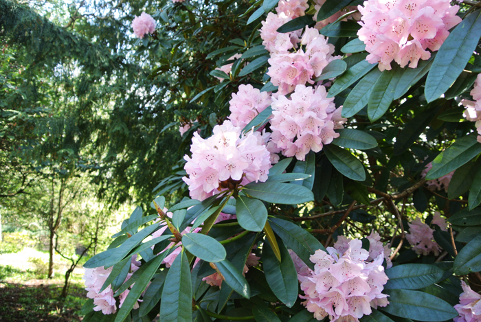 Rhododendron in Pollok Country Park