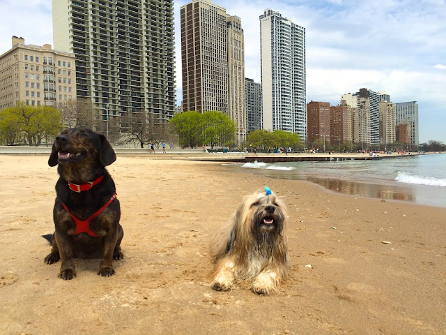 Rocco Havanese and Dolly the Doxie at Oak Street Beach Dogs