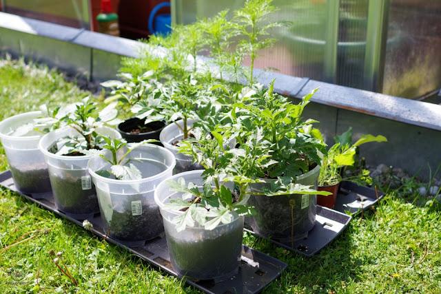 vorgetriebene Dahlien vor dem Auspflanzen - Gartenblog Topfgartenwelt