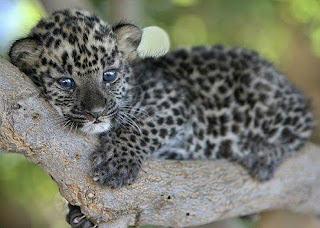 Leopardo bebé cachorro