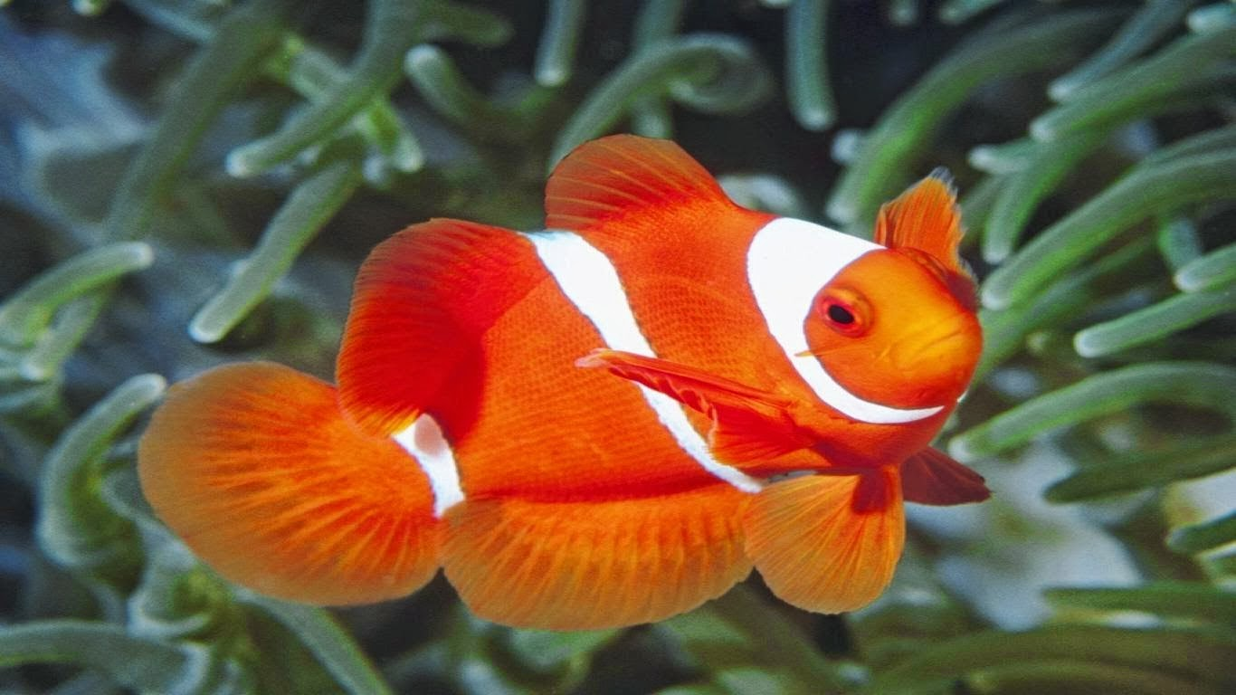 Jenis Ikan Hias Air Laut