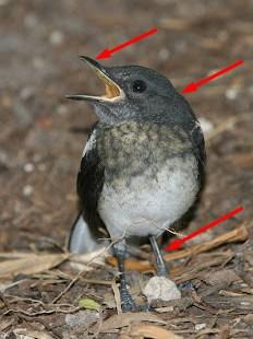 Ciri Fisik Burung Kacer Betina Bahan Anakan
