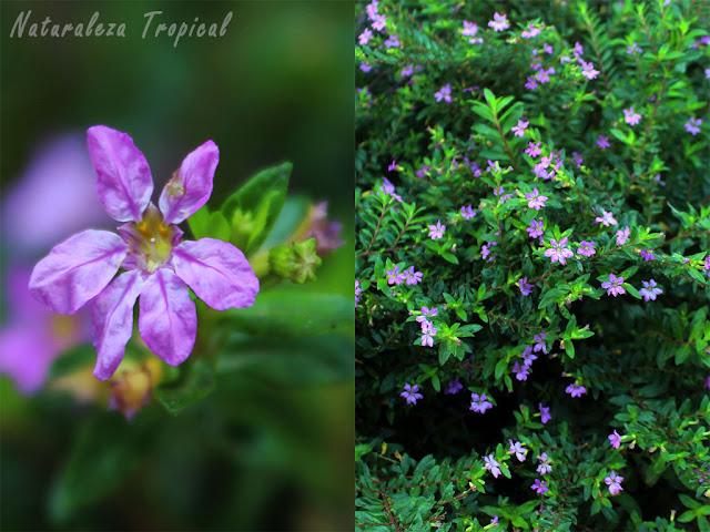 Flor y vista de la planta Truenos de Venus, Cuphea hyssopifolia