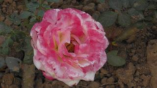 Rose Flower in National Rose Garden Delhi 2089