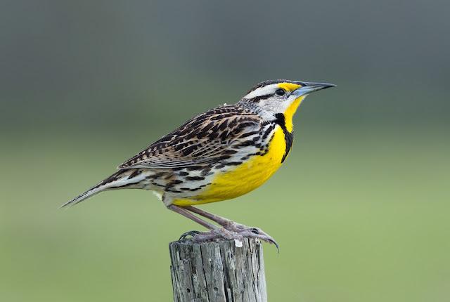 Eastern Meadowlark - Three Lakes WMA, Florida