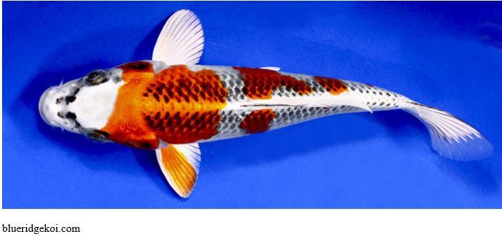 Gambar Ikan Koi Kujaku