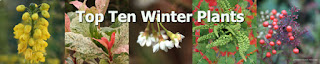 http://prestonbissettnurseriesandcountryshop.blogspot.co.uk/2016/11/top-ten-winter-plants.html