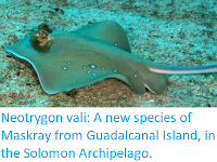 http://sciencythoughts.blogspot.co.uk/2017/12/neotrygon-vali-new-species-of-maskray.html