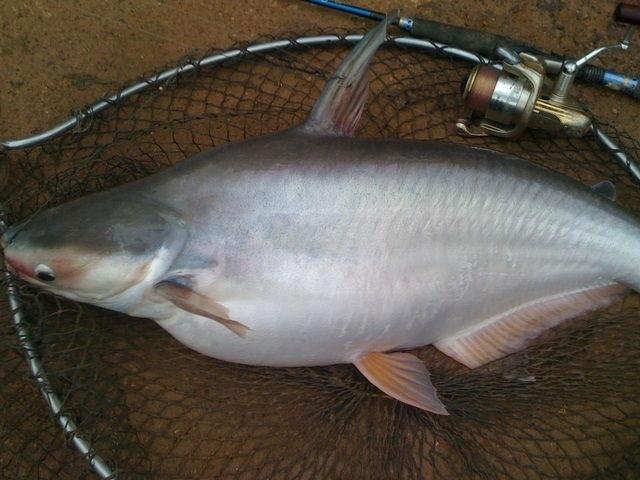 Pemijahan Ikan Patin