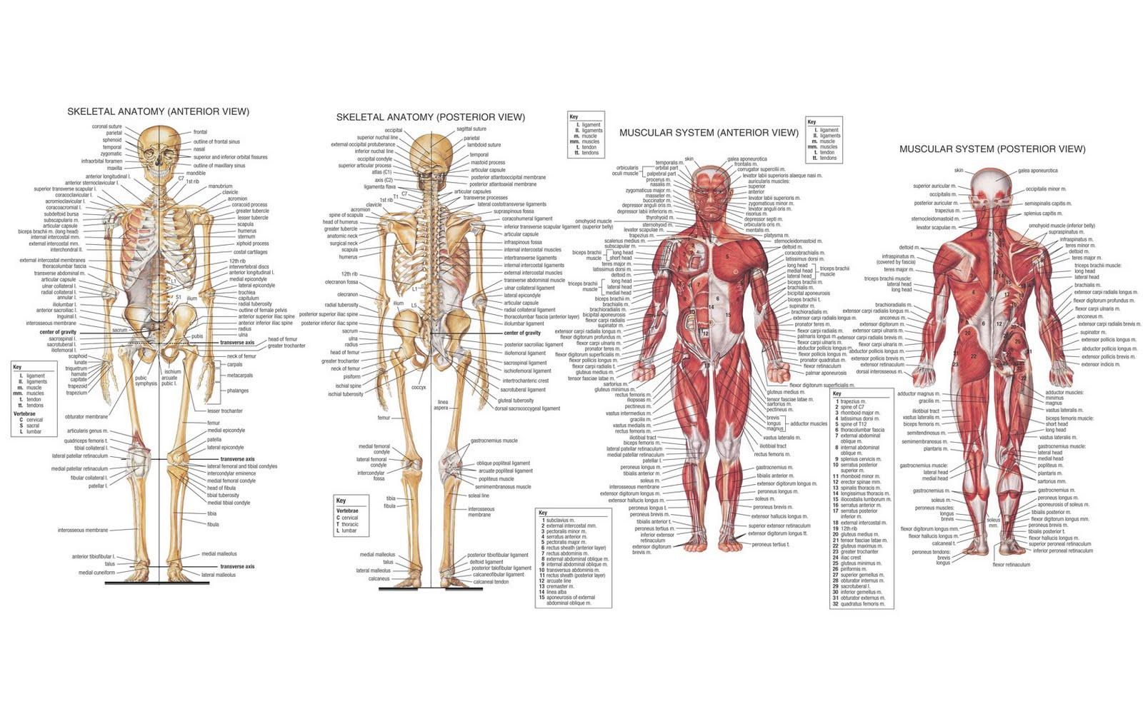 Famoso Oso Anatomía Muscular Ideas - Anatomía de Las Imágenesdel ...