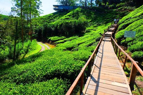 Ladang teh BOH sungai palas cameron highland