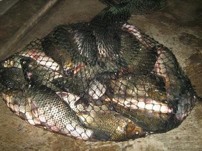 5 Kelebihan Budidaya Ikan Nila Yang Harus Diketahui