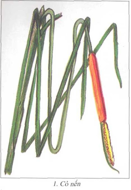 Cây Cỏ Nến - Typha orientalis - CẦM MÁU