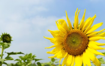 Wallpaper: Sunflowers