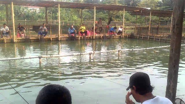 Umpan Ikan Lele Babon