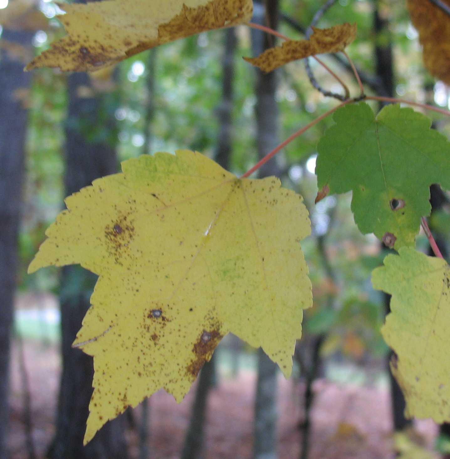Using Georgia Native Plants Native Fall Foliage
