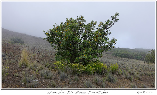 Mauna Kea: Me, Mamane. I am still Here.