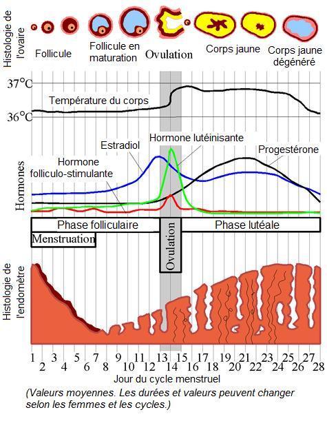 l 39 entit science d cal e le cycle menstruel influe sur la consommation. Black Bedroom Furniture Sets. Home Design Ideas