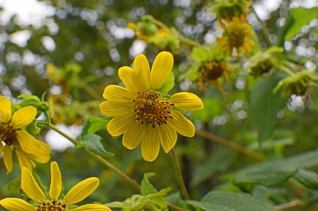 hoa dã quỳ đẹp nhất