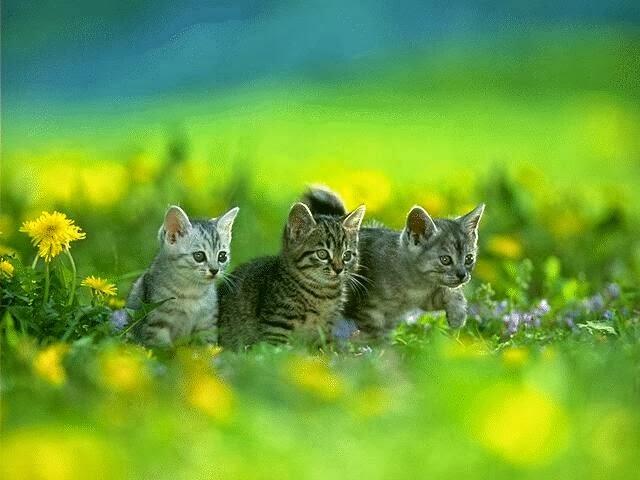 Gambar Hewan Kucing  Rway Collection