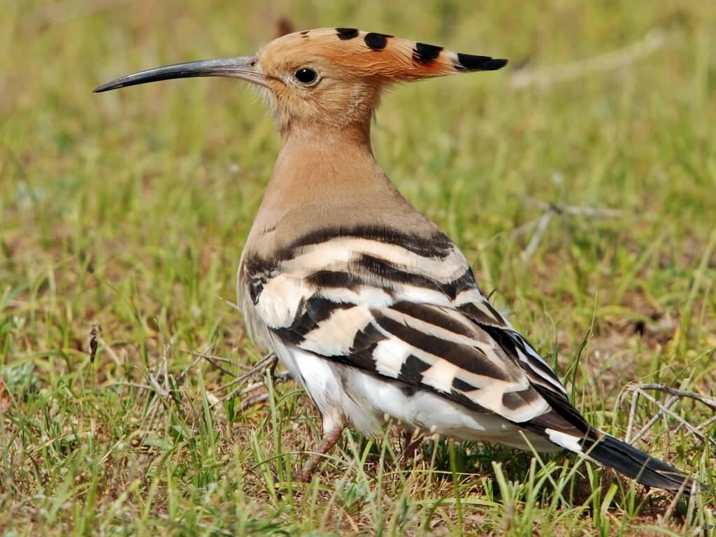Gambar Burung hud-hud
