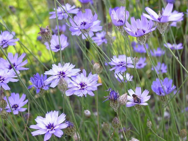 Blå gräsfibbla