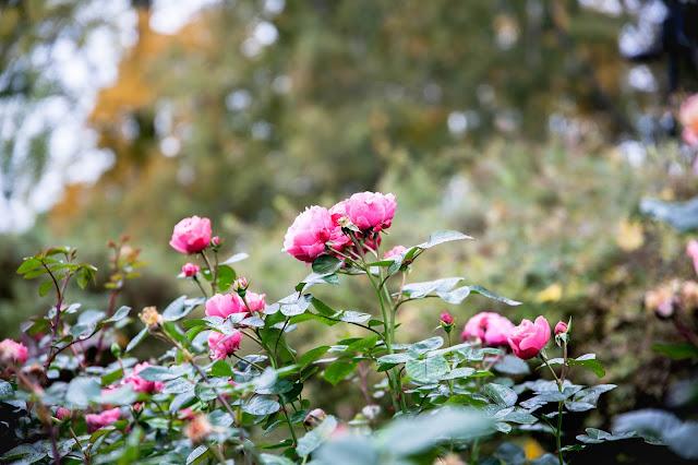 ruusut arboretum