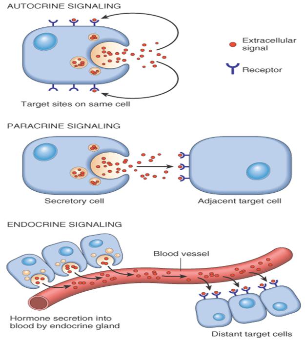 steroid hormone pathways chart