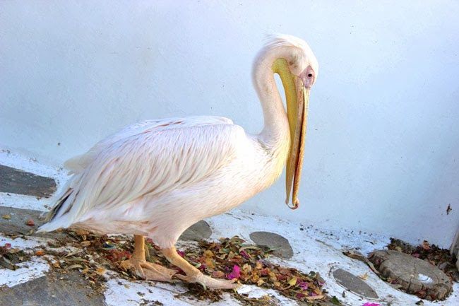 Chora Mykonos town Petros pelican