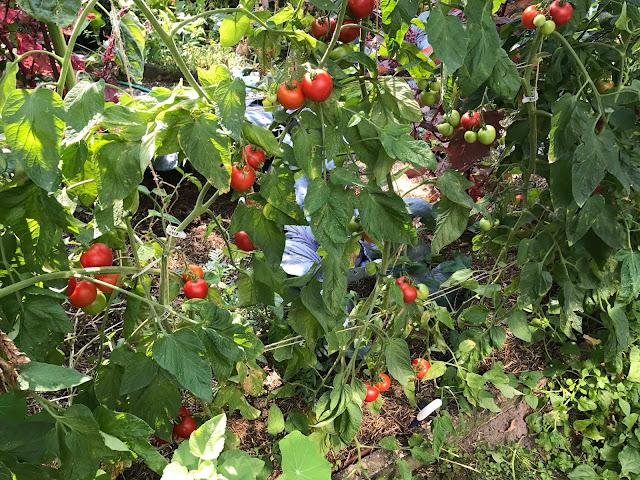 erntereife Tomaten (c) by Joachim Wenk