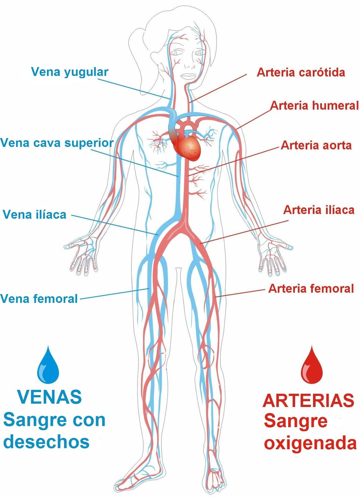 24 TES: La oxigenación y la distribución de sangre.