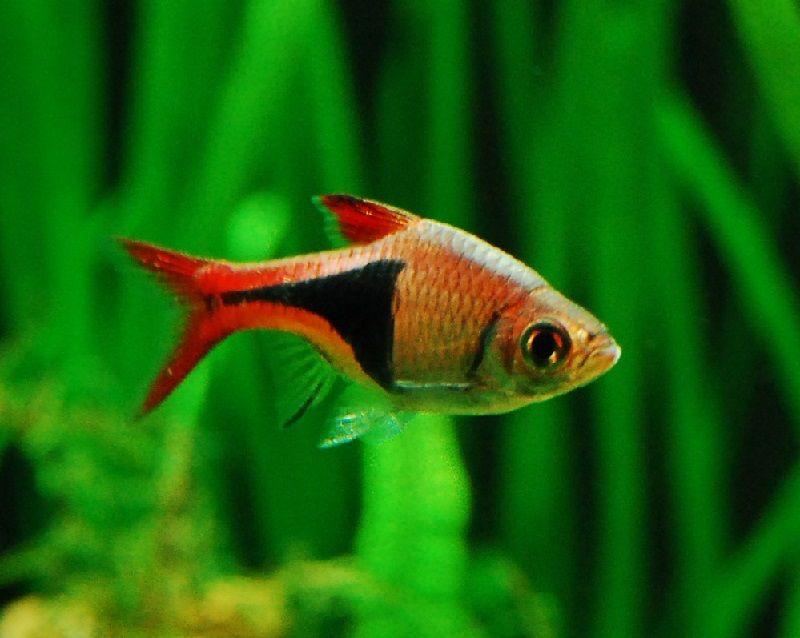 37. Jenis Ikan Hias Aquascape Harlequin Rasbora