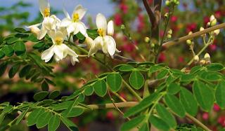 Moringa Oleifera: usi e benefici