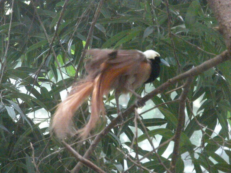 The Zoo Review: Species Fact Profile: Raggiana Bird-of