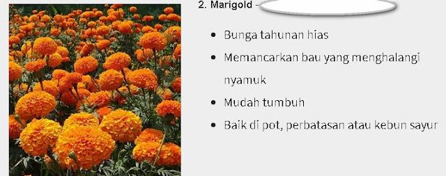 Marigolds Pengusir Nyamuk Alami