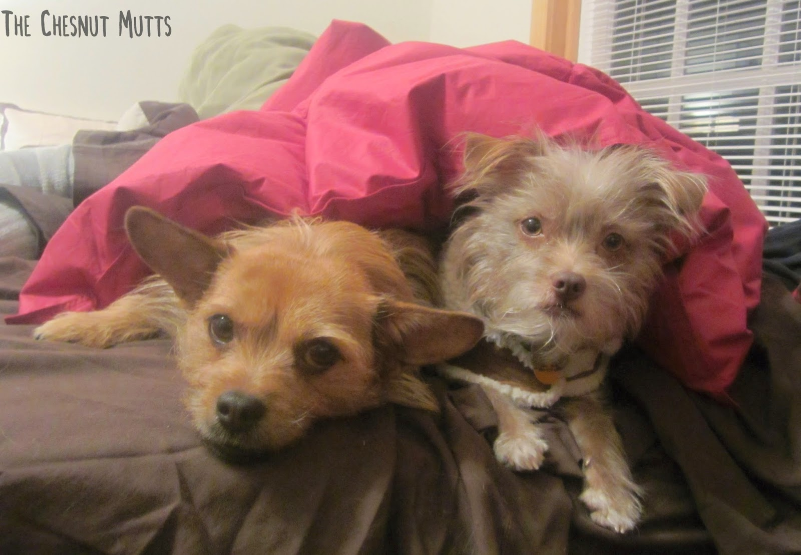 Jada and Bailey under the Buddy Blanket pet comforter